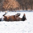 Dark bay horse enjoying a good roll in deep snow - Stok fotoğraf