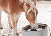 Belgian Draft horse drinking water from a water trough — Stock Photo