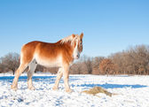 Beautiful blond Belgian Draft horse eating his hay in snow — Stock Photo