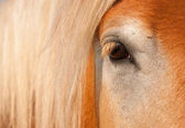 Gentle Eye of a blonde Belgian Draft Horse — Stock Photo