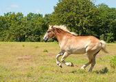 Cavalo poderoso projecto belga galopando através de um campo — Foto Stock
