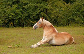 Belgian Draft horse getting up after a good roll in grass — Stock Photo