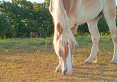 Close up of a beautiful Belgian Draft horse grazing in early morning sun — Stok fotoğraf