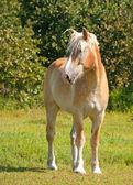 Projekt przystojny belgijski koń — Zdjęcie stockowe