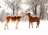 Two horses playing in snow — Stock Photo