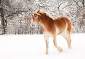 Belgian Draft horse in snow — Stock Photo