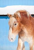 Blond belgisch trekpaard tegen een blauwe schuur in de winter — Stockfoto