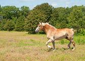 Grote belgische trekpaard dravende over een veld — Stockfoto