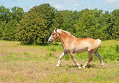 Belgian Draft Horse in powerful trot — Stock Photo