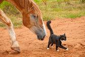 Belgische zugpferd nach seine winzige kleine schwarze und weiße kätzchen fr — Stockfoto