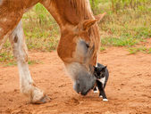 Belgian Draft horse pushing his little kitty cat friend — Stock Photo
