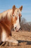 ベルギーのドラフト馬の牧草地で昼寝 — ストック写真