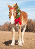Handsome Belgian Draft horse wearing a Christmas wreath — Stok fotoğraf