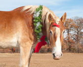 Adorable Belgian Draft horse wearing a Christmas wreath — Stock Photo