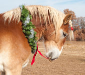 Belgian Draft horse pulling the red bow on his Christmas wreath — Zdjęcie stockowe