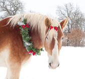 Gift horse - a Belgian draft horse with a Christmas wreath — Stock Photo