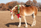 Cute image of a huge Belgian Draft horse wearing a Christmas wreath — Stock Photo