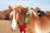 Closeup-bild von einem großen belgischen zugpferd tragen ein weihnachtskranz — Stockfoto