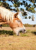 Tired Belgian Draft horse yawning — Stock Photo