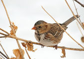 Harris's Sparrow perched on a dry flower stalk — Stock Photo