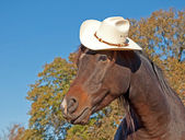 Cute little dark bay Arabian horse wearing a cowboy hat — Stock Photo