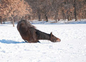 Koń kłamliwy w dół aby rozpocząć dobrą tarzać się w śniegu — Zdjęcie stockowe