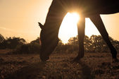 Grazing Arabian horse silhouetted against rising sun in sepia tone — Stock Photo
