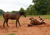 Dirt covered horse watching another enjoying a good roll in sand — Stock Photo