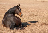 Dark bay Arabian horse resting in dry grass, lying down — Stock Photo