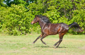 Beautiful dark bay Arabian horse galloping — Stock Photo
