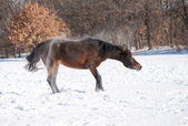 良いロール後雪をふっ飛ばす暗い湾のアラビアの馬 — ストック写真