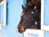 Dark bay Arabian horse looking out of a blue barn — Stockfoto