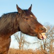 Comical image of dark bay horse sticking his tongue out — Stock Photo #5870020