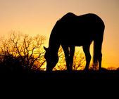 Grazing horse silhouetted against setting sun — Stock Photo