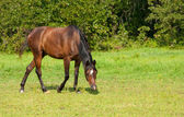 Bay Arabian horse walking in pasture — Stock Photo