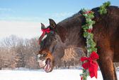 Comical image of a dark bay horse yawning — Stock Photo