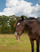 Cute little horse looking funny yawning — Stock Photo