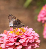 Hoary edge butterfly — Stock Photo