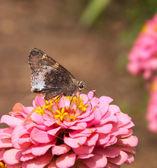 Hoary edge butterfly — Stock Photo
