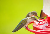 Hummingbirds home for dinner, eating nectar at the feeder — Stok fotoğraf
