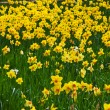 Field of Yellow Daffodils — Stock Photo