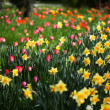 Field of Yellow Daffodils And Red Tulips — Stock Photo