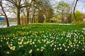 Field of Yellow Daffodils And Red Tulip — Fotografia Stock