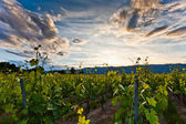 Vineyard and clouds — Stock Photo