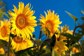 Sunflower and Sunrise — Stock Photo