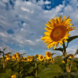 Stock Photo: Sunflower and Sunrise