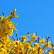 Stock Photo: Blooming forsythia
