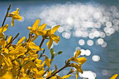 Bright yellow forsythia flowers over blurred background — Foto Stock