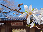 Magnolia flower in a yard of traditional temple — Zdjęcie stockowe