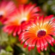 Beautiful flower of gerbera - Stock Photo